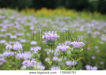 Blooming Monarda, a native plant to North America, known also as Bee-balm or Bergamot, in midsummer.