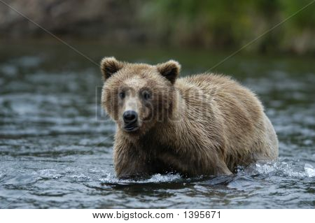Brown Bear Walking Across Brooks River Alaska