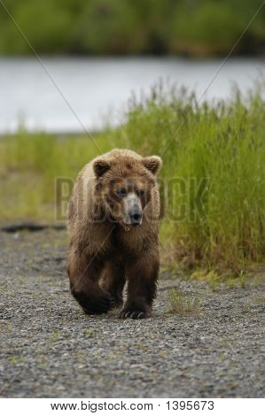 Brown Bear Walking On The Shore