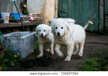 Young Maremma or Abruzzese white Sheepdog puppies