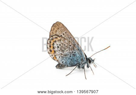 butterfly hairstreak, furry, species, nature, indoors on white background
