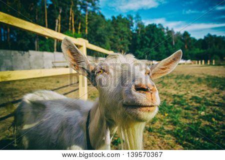 Goat, Close-up Portrait. Courtyard