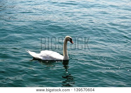 the snow-white swan with beak slightly open swimming in the pond with the emerald water of Zurich Switzerland