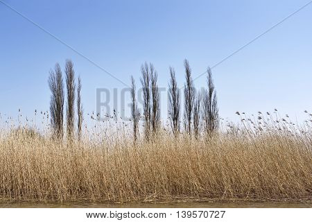 Wetland with reeds and clear blue sky. Nature background, landscape on a riverside. Scenics.