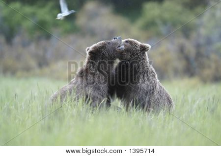 Teo Brown Bears Playing