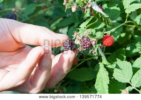 Female hand plucks berries blackberry raspberry from branch among the leaves.
