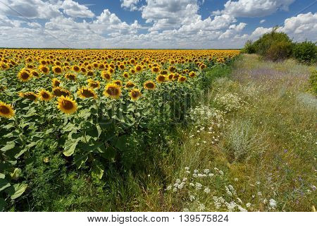 Field of sunflowers under blue sky with huge white clouds