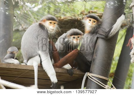 Family of Red-shanked douc langur on the tree