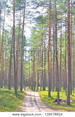 Road in pine tree forest at spring sunny day.