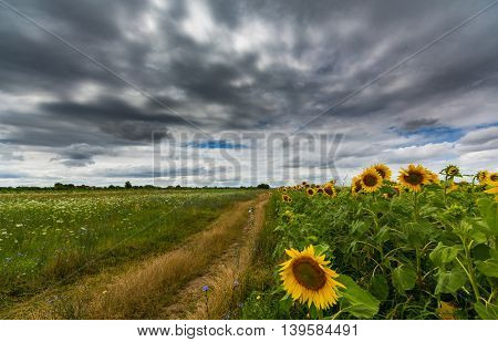 Sunflower field and country road on a bright summer day