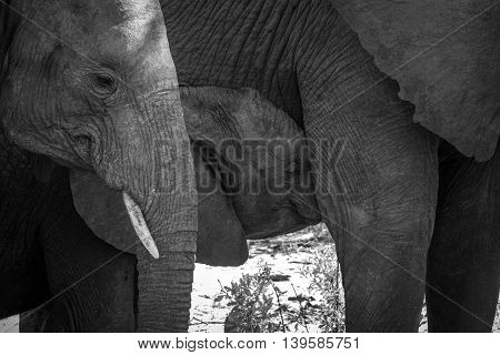 Baby Elephant Sucking In Black And White.