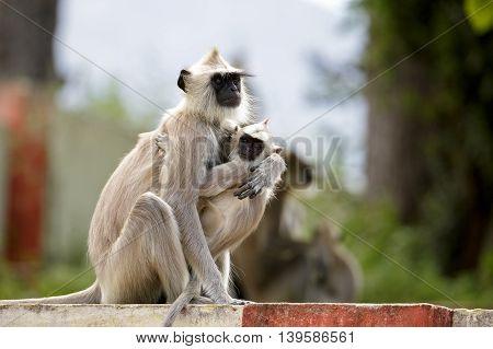 Gray Langur (Mother and Baby), Chinnar Wildlife Sanctuary, Kerala, India.
