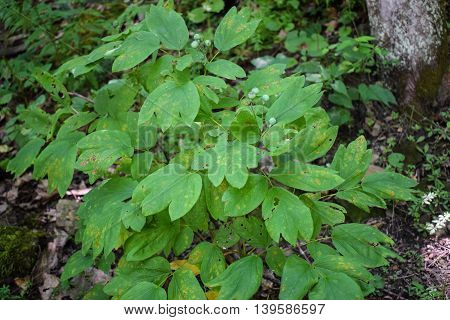 Blue Cohosh growing wild in the Appalachian Mountains.