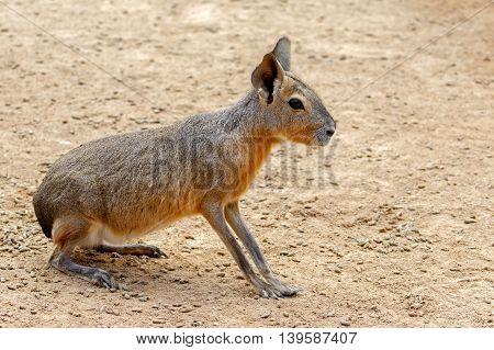A Patagonian Mara or Dolichotis Patagonum in a zoo in Bahrain