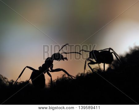 ants silhouettes at sunset. Orange and black. Macro.