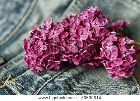 Branch of Purple Lilac in the Jeans Pocket.Background.Selective Focus