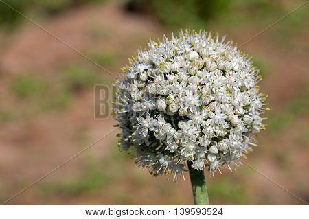 Leek or Allium Ampeloprasum flower in a farm in Bahrain