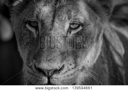 Starring Lioness In Black And White.