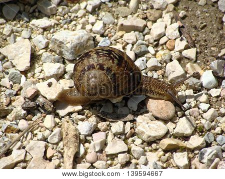 Large tropical terrestrial snail class Gastropoda crawling over rocks.