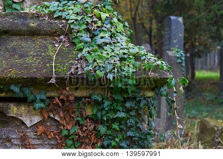 Detail of a tombstone on graveyard covered with ivy