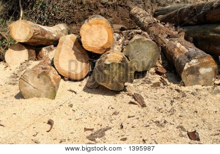 Felled Tree Logs And Sawdust.