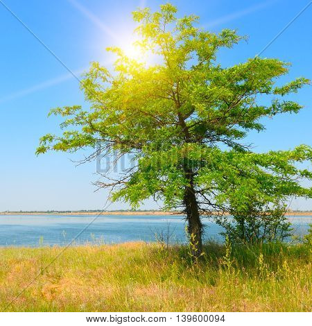 lonely tree on the shore of the Gulf and sun