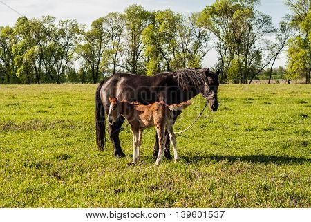 Mother Horse And Foal In A Field Cub