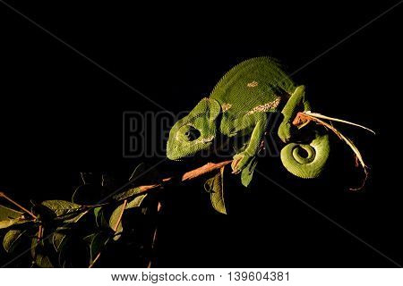 A Flap-necked Chameleon On A Branch In The Spotlight.
