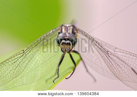 Macro shot of a dragonfly with eyes in focus.