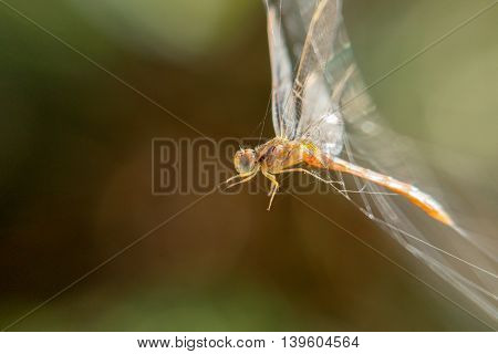 Dragonfly stuck in a spider's web in a farm in Bahrain