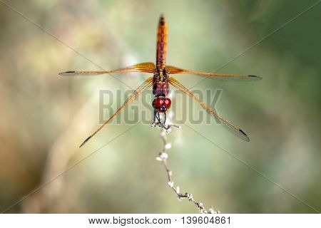 Red-veined Darter or Nomad Dragonfly in a farm in Bahrain