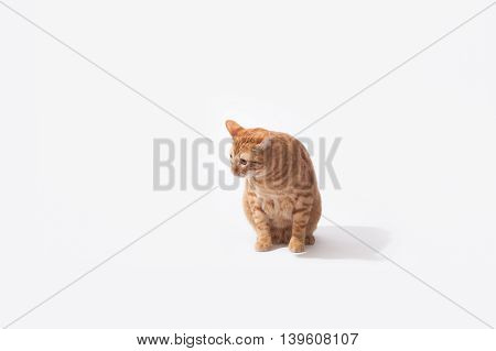 Orange Tabby cat sitting in high key background.