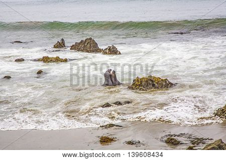 Male Sealions Fight In The Ocean