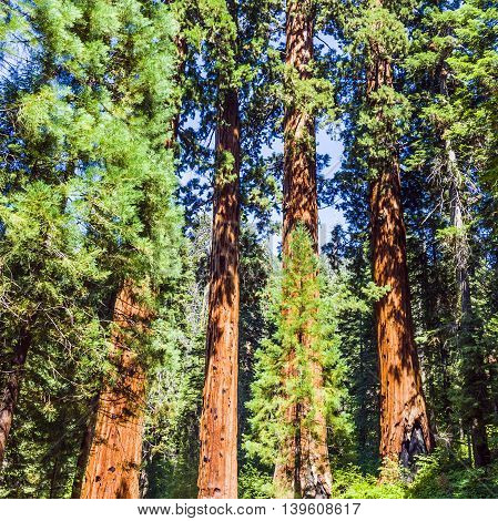 Famous Big Sequoia Trees