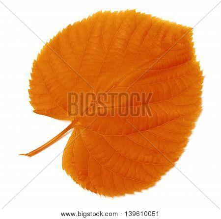 Autumn leaf. Isolated on white background .