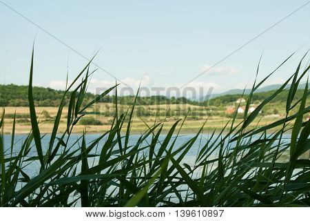 Reeds At The Lake,tall Grass In The Foreground.