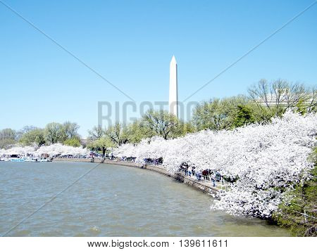 Cherry Blossoms on shore of Tidal Basin in Washington DC USA