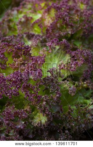 Lettuce, red leaf, fresh, growing in the garden