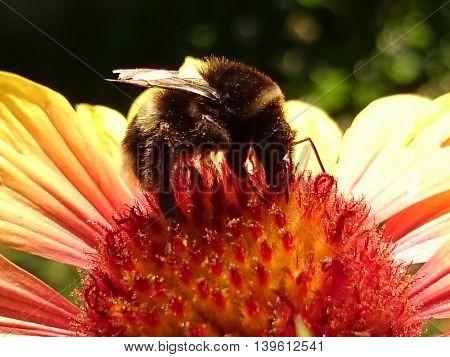 Honeybee Harvesting Pollen from summer fresh flowers