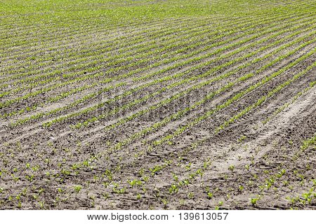agricultural field on which to grow crops - beets. Spring. sprout