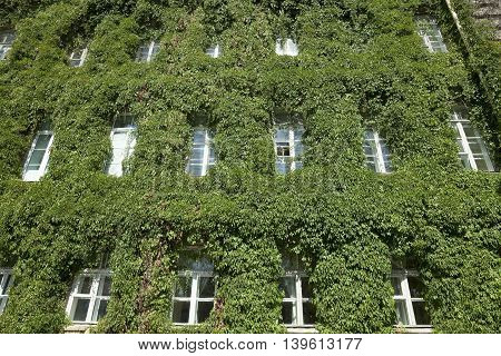green ivy growing on a wall of an old building, close-up