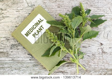 Redroot pigweed (Amaranthus retroflexus) also called red-root amaranth red-rooted pigweed common amaranth pigweed amaranth common tumbleweed and herbalist handbook on old wooden table. Used in herbal medicine healthy eating