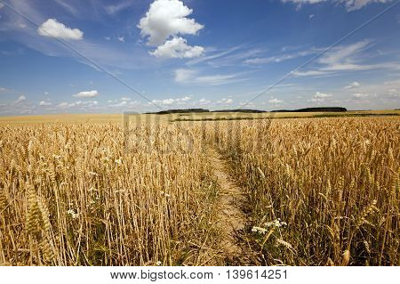 the small trodden footpath in an agricultural field