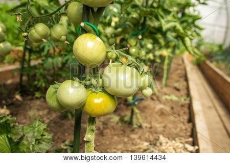 Green tomatoes growing on in the greenhouse