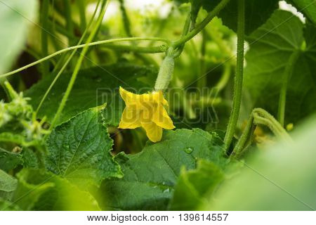 Little cucumber with a flower in the garden Sunny day