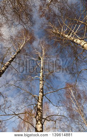 photographed close-up bare birch trees in winter, blue sky, tree tops,