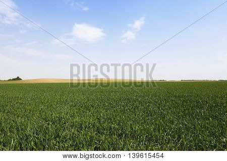 agricultural field on which grows green wheat. cereals. Belarus