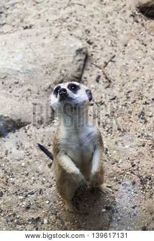 A single Meerkat standing on alert or guard