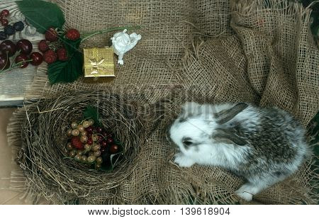 Funny little rabbit and fresh berries in bird nest angel figurine with golden gift box on burlap background