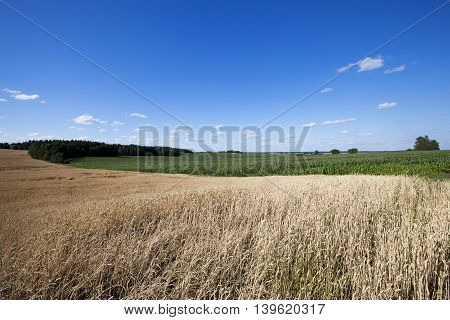 agricultural field where a farmer grows cereals. field of wheat